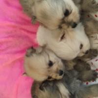 Teacup toypom puppies