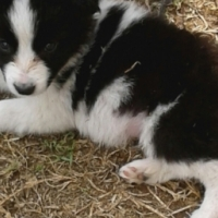 sheepdog puppies