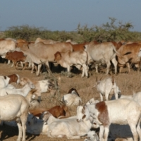 Full Blood Boer Goats, Live Sheep, Cattle, Lambs and Cows for sale
