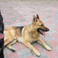 Black Geman Shepherd female puppy