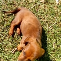 I have 5 miniature dachshund 2 female and 3 males for sal.