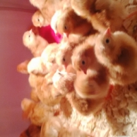Week old vaccinated broiler chickens