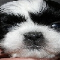 Shih Tzu puppies females available