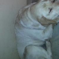purebred labrador yellow and back pups
