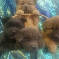 Pedigreed Chow Puppies - All Scarce Colours.
