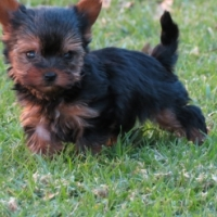 Pedigree Pocket and Miniature size Yorkie puppies available