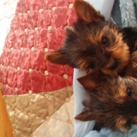 Pure bred Yorkshire Terrier Male puppies