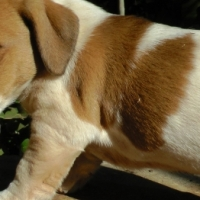 Jack Russel Puppies (Shortlegged)