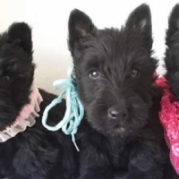 Scottish Terrier wheaten pups