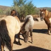 Minature Horses
