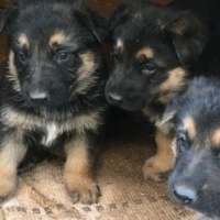 German Shephard puppies for sale: