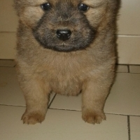 Beautiful Chow Pei puppies for sale