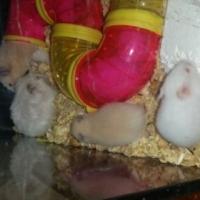 Voel hokkie en hamster babatjies