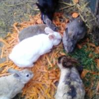 Hase (Rabbits)