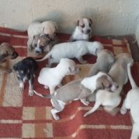 JACK RUSSELLS X LABRADOR PUPPIES FOR SALE