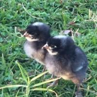 Day-old Potch Koekoek Chicks