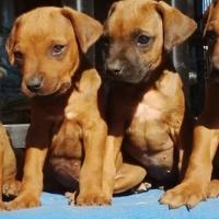 Rhodesian Ridgeback Rifrug Puppies