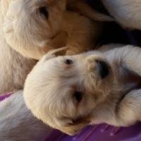 Golden Retriever x Labradour puppies