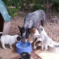 Australian Cattle Dog X Sheep Dog puppies