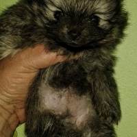 Miniature/Short Body and legs Pomeranian/Toypom for sale