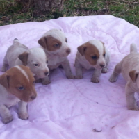 Jack Russell pure bred pups