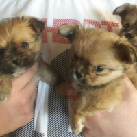 Yorkie/Toipom puppies for sale!