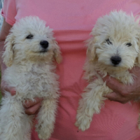 Toy Poodle pups white and black.