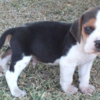 Beautiful UNREGISTERED  BEAGLE  PUPPIES