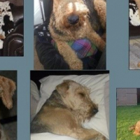 Airedale Terrier Puppies Kusa Registered