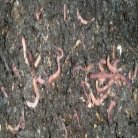 Used, Earthworms, erdwurms, red wigglers, Kariba earthworms for sale  South Africa
