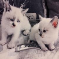 Siamese cross ragdoll kittens