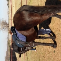 Registered big 5 year old Friesian mare