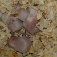 Baba Teddie Beer hamsters.