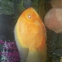 decan fish