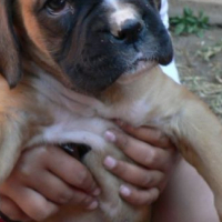 Boxer female dogs