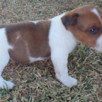 Registered Jack Russell Puppies