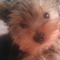 Mini male yorkie. URGENT SALE!!
