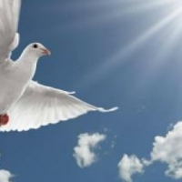 White pigeon release for special events