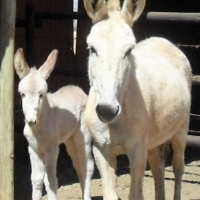 White Donkey Mare and Her Beautiful Foal
