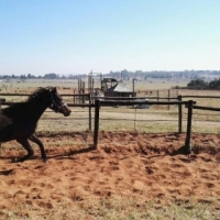 Arab x Tb Filly for sale