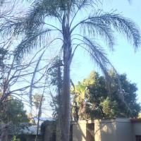 6m Cocos Plumosa palm tree for sale