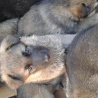 German Shepard puppies !!