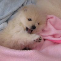 stunning toy pom puppies