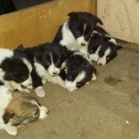 Border Collie Pupps