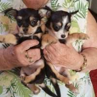 Miniature Chihuahua puppies for sale