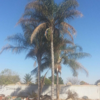 3 x Palm trees for sale Make me an offer