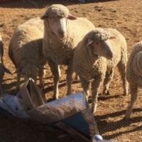 Merino sheep for sale