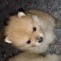 Toypom (pomeranian) puppies