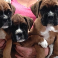 Fully Vaccinated Boxer Puppies