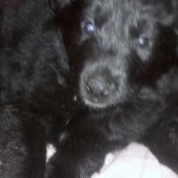 Alsation/Labrador Puppies